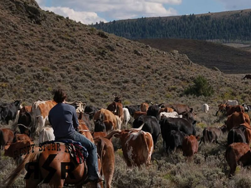 Working Cattle Drives